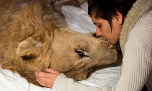 Sick lion receives treatment at veterinarians house