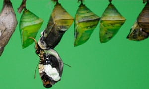 A butterfly hatches from its pupa at the Natural History Museum in London