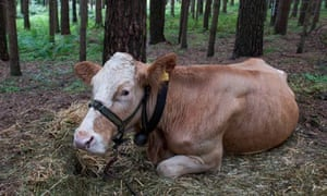 Search for escaped cow Yvonne