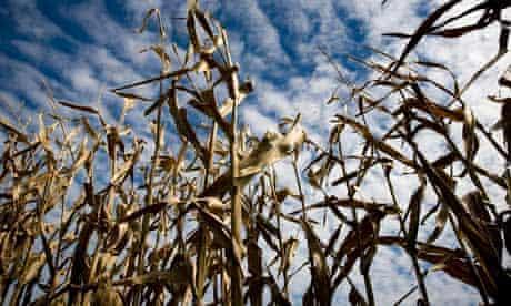 Corn stalks on a Missouri farm