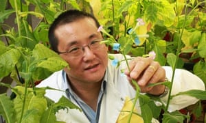 Julian Ma amid GM tobacco plants