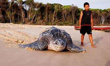 leatherback turtle after laying eggs coming back sea with a black boy looking at her