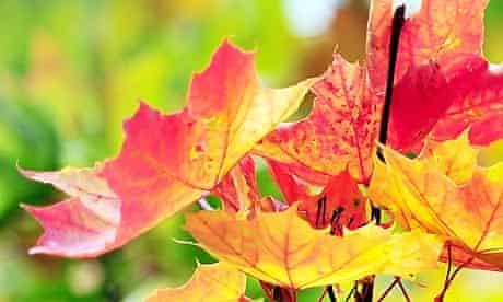 Ashton Keynes, UK: Leaves beginning to turn to their autumn colours