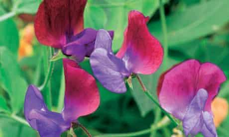 Gardens: sweet peas
