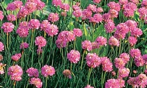 Plant of the week: Sea Pink