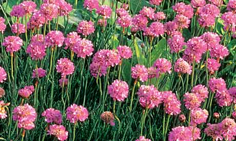 Plant of the week sea pink life and style the guardian mightylinksfo