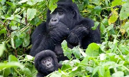 Mountain gorillas feeding. Gorillas live on the edge of viability, scientists suggest
