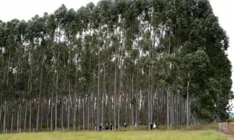 GM eucalyptus trees