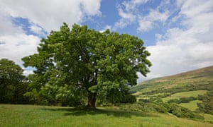 Ash tree in the Brecon Beacons, Wales