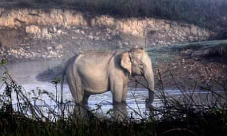 A wild Asiatic elephant basks the winter morning sun in Kaziranga National Park, India