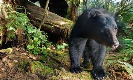A black bear prowls redwood forest.
