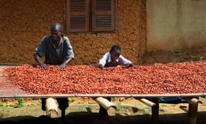 cocoa beans being dried in Ghana West Africa.