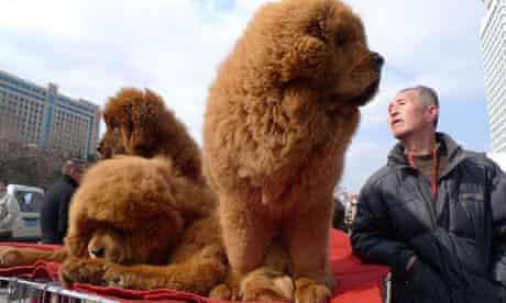 Tibetan Mastiff dogs China