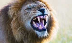 A male lion, Masai Mara National Park, Kenya