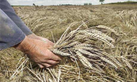 Genetically modified barley. Political support for a new push on GM is currently at a high watermark