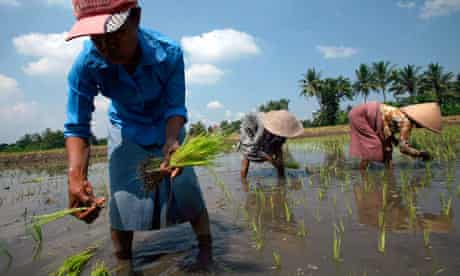 Indonesian workers plant rice seedlings Yogyakarta