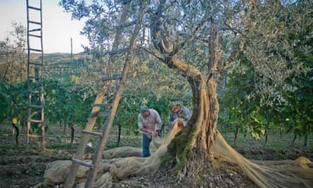 olive oil farmers