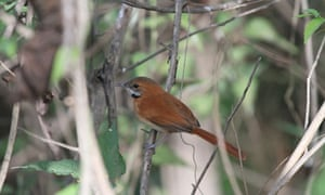 Hoary-throated Spinetail