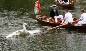 Swan upping cancelled