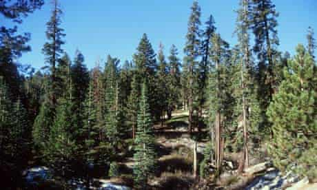 Redwood trees in sequoia national forest