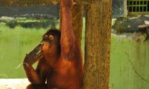 Tori the Orangutan at Taru Jurug zoo