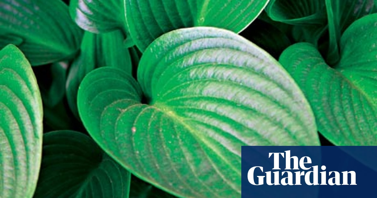 Gardens Time For A Hosta Takeover Life And Style The Guardian