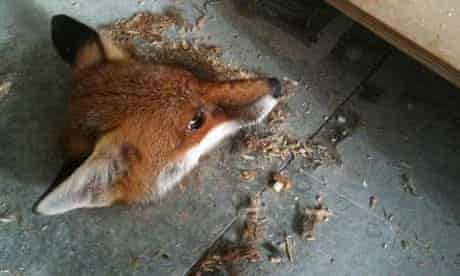 fox trapped in university