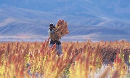 Quinoa harvest in Bolivia