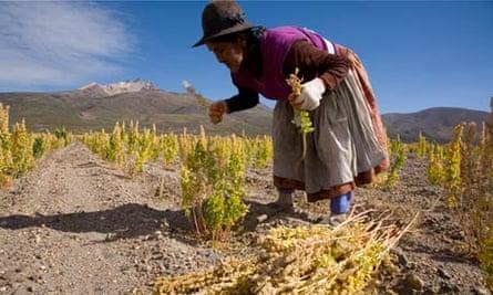 Bolivian woman harvesting Quinoa