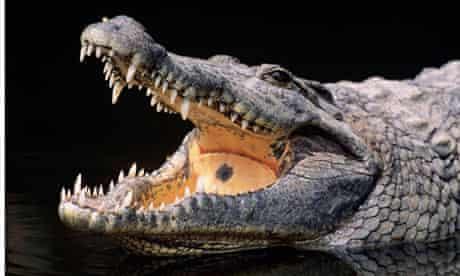 A Nile crocodile … big enough to kill.