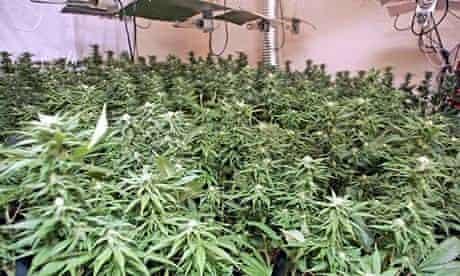 do marijuana plants smell