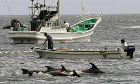 Taiji: fishermen drive bottle-nose dolphins into a net during their annual hunt.