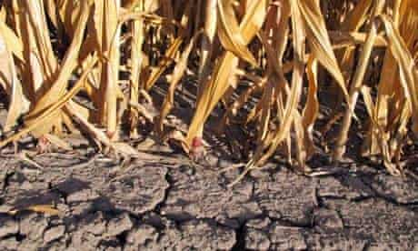 Corn crops in New Florence, Missouri, wither in the devastating drought of 2012.