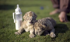 lion cubs Fajr and Sijil at a zoo in the northern Gaza Strip town of Beit Lahia