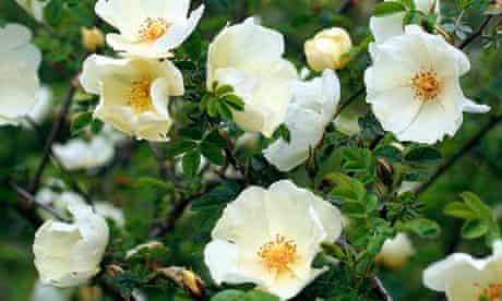 Rosa Cantabrigiensis