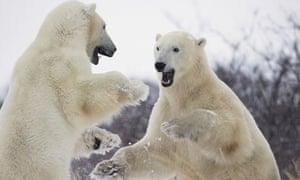Polar bears playing in Hudson Bay