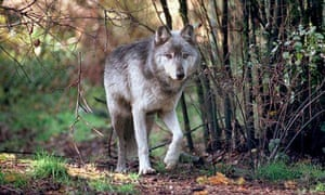 A timber wolf