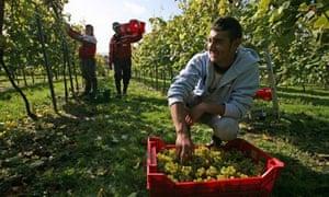 Romanian vineyard workers in Sussex