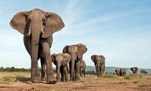 Elephants in the Maasai Mara, Kenya, approaching with curiosity
