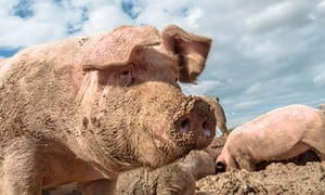 OK, Mr Pig, time to do your bit for British business.