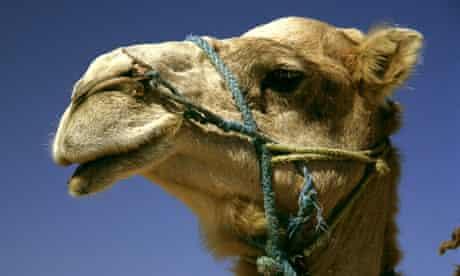 Camel in Tunisia