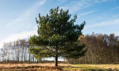 Beware trees … scots pine and silver birch.