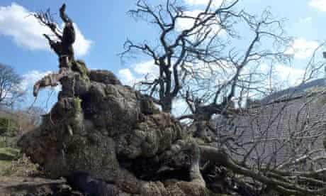 The toppled Pontfadog oak