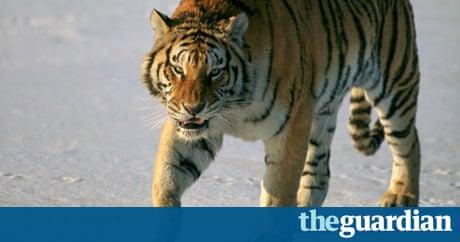 Siberian tigers poaching - photo#27