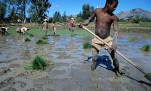Paddy field, Africa