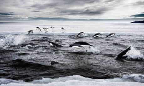 Penguins in the Ross Sea, off Antarctica