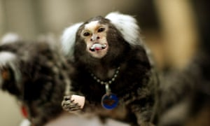 marmoset monkeys animal testing