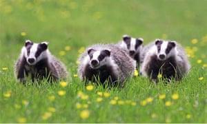 Badger cubs in Somerset