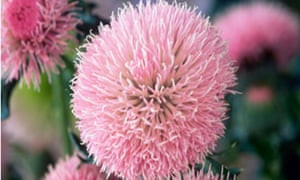 thistle (Cirsium japonicum 'Early Pink Beauty')