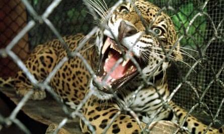 Costa Rica zoos jaguar